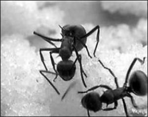 polyrhachis blacks ants