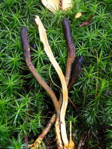 Cordyceps sinensis for weight loss