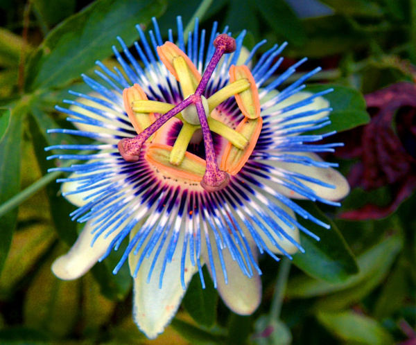 Passionflower with Chrysin