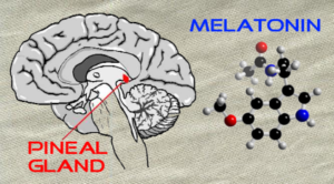 Pineal-Gland-and-Melatonin