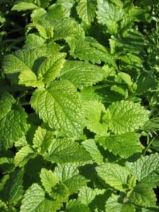 Lemon balm won't make you sleepy, but just helps you calm and feel good.