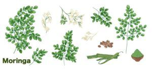 moringa miracle tree health benefits