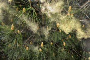 Pine Pollen - Everything You Ever Wanted to Know